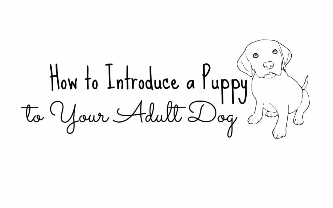 Introducing a Puppy to Your Adult Dogs
