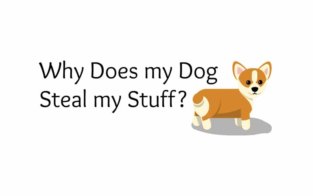 Why Does my Dog Steal my Stuff?